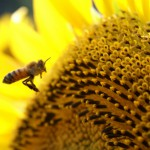 ミツバチって実はスゴイんです。その驚くべき経済価値は?